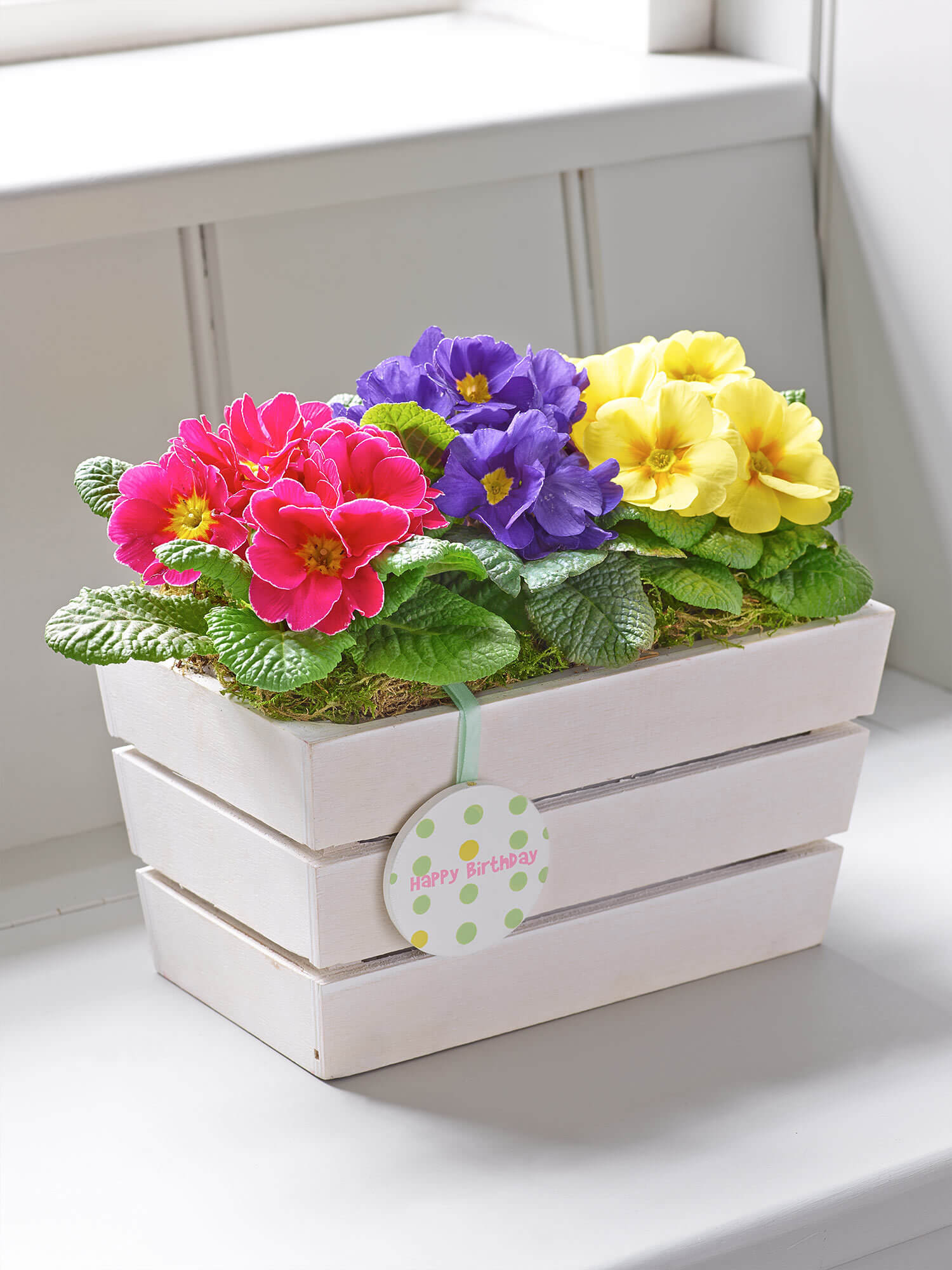 Happy Birthday Spring Primrose Planter